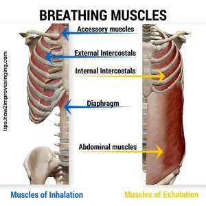 breathing muscles