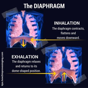 diaphragm during inhalation and exhalation