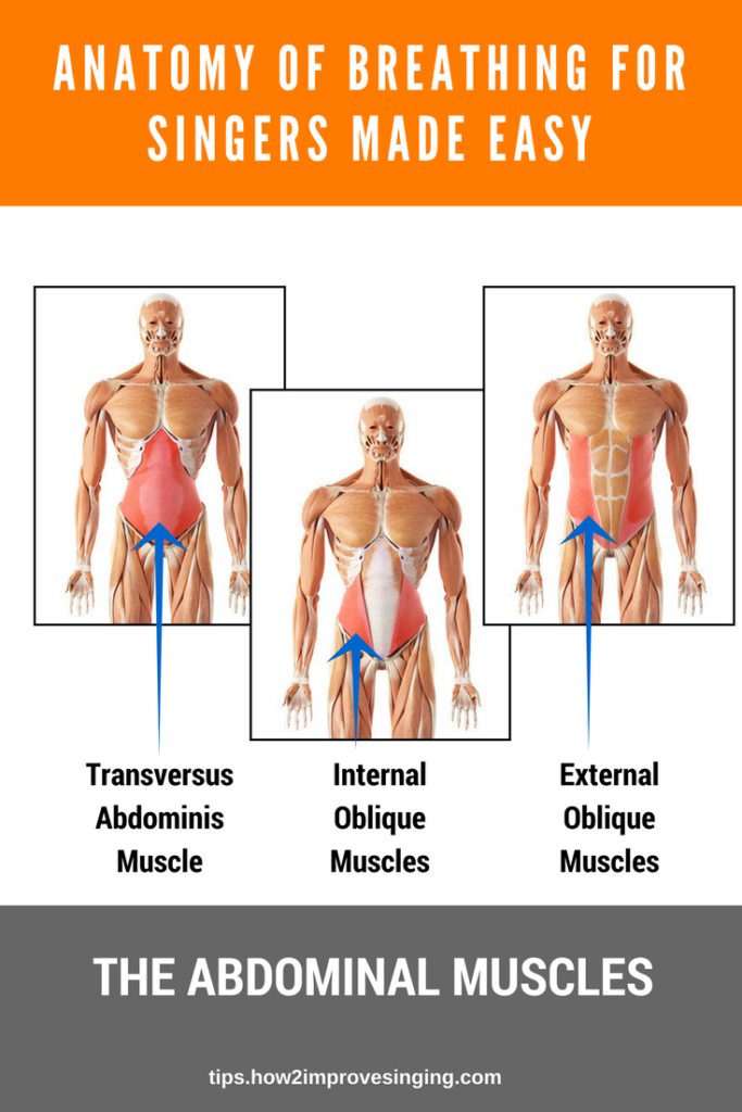 Abdominal muscles - anatomy for singers made easy
