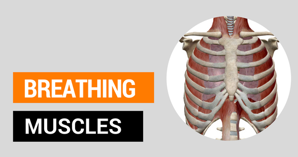 Anatomy of Breathing for Singers Made Easy
