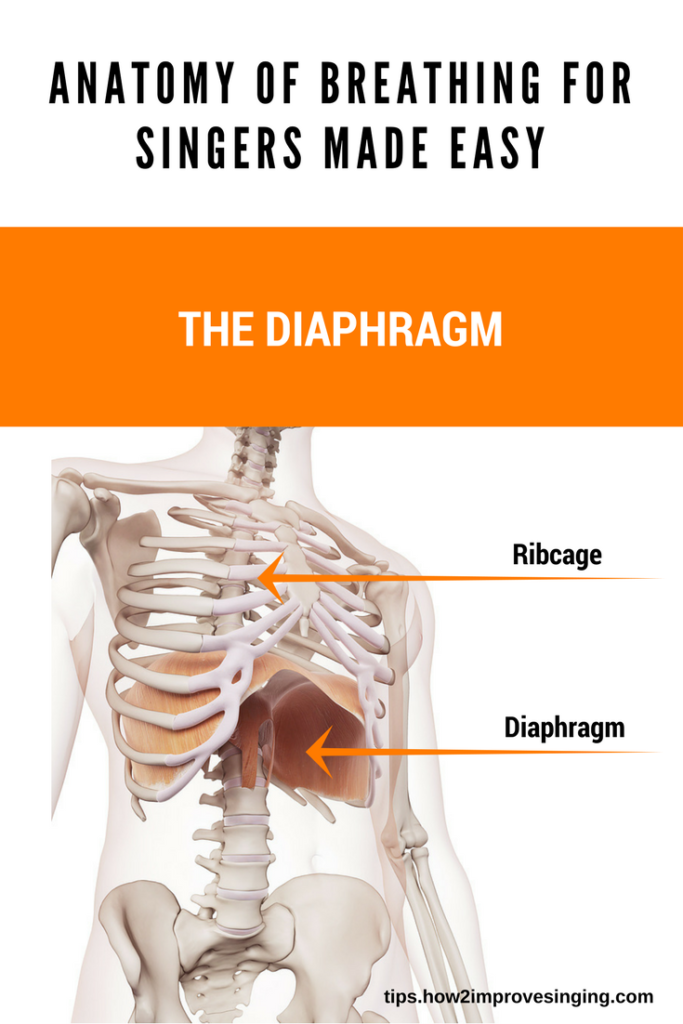 The diaphragm - anatomy for singers made easy