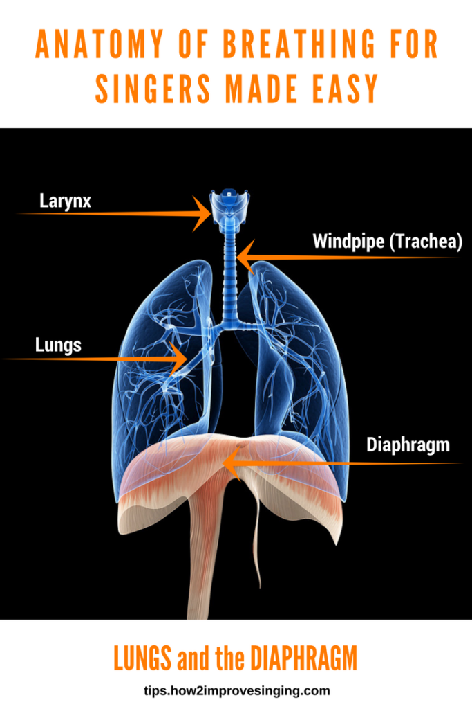 Anatomy of breathing for singers - lungs and diaphragm